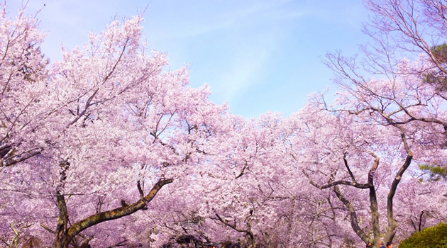 LIGHT WORKS WEB Magazine コラム :桜をテキストで楽しんでみませんか